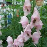 Аконит (Aconitum) Rubellum
