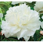 Пион (Paeonia) Double White