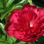 Пион (Paeonia) Wine Red