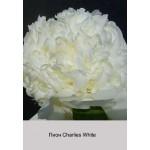Пион Charlies White