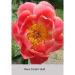 Пион Coral 'n Gold