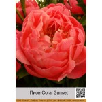Пион Coral Sunset