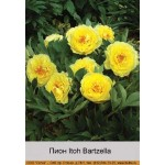 Пион Itoh Bartzella