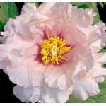 Пион деревовидный (Paeonia) Suffriticosa Light Pink