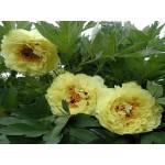 Пион деревовидный (Paeonia) Suffriticosa Yellow