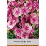 Флокс Magic Blue