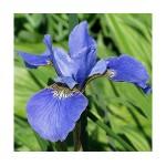 Ирис сибирский (Iris sib.)Blue King