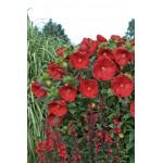 Гибискус (Hibiscus)Cranberry Crush®