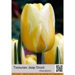 Тюльпан Jaap Groot