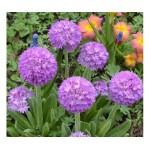 Примула (Primula)Lilac