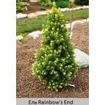 Ель  сизая Rainbow's End