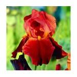 Ирис германика (Iris germ.)Sultan's Palace