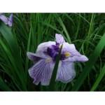 Ирис германика (Iris germ.)Symphony