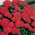 Гортензия крупнолистная Red Beauty (Ред Бьюти)