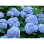 Гортензия крупнолистная Early Blue (Эрли Блу) 3год