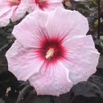 Гибискус (Hibiscus)Kopper King®