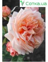 Роза Baroque