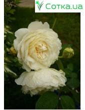 Роза Claire Austin