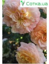Роза Elobatler