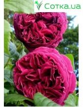 Роза Falstaff