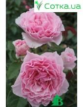 Роза Gartentuan