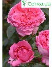 Роза La Rose de Molinard