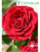 Роза Nahalglut