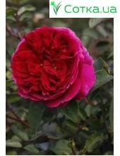 Роза Othello