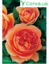 Роза Pet austin