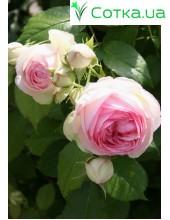 Роза вьющаяся и шрабы Pierre de Ronsard