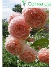 Роза William Morris