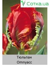 Тюльпан Omnyacc