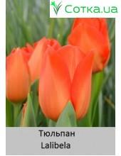 Тюльпан Lalibela