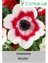 Анемона bicolor