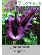 vulgaris