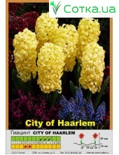 Гиацинт City of Harlem