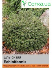Ель  сизая Echiniformis
