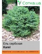 Ель сербская Karel