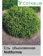 Ель  обыкновенная Nidiformis