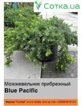 Можжевельник прибрежный  Blue Pacific