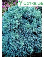 Можевельник чешуйчатый Blue Star
