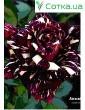 Роза Abracadabra