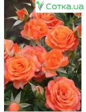 Роза Alegria