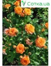 Роза Orange baby