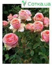 Роза Theress