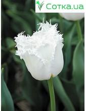 Тюльпан бахромчатый North Pole