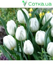 Тюльпан триумф Pim Fortuyn