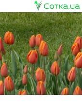 Тюльпан триумф Prinses Catharina-Amalia
