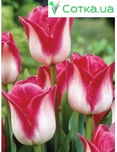 Тюльпан триумф  Page Polka