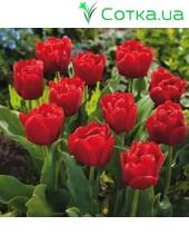 Тюльпан махровый ранний Largo
